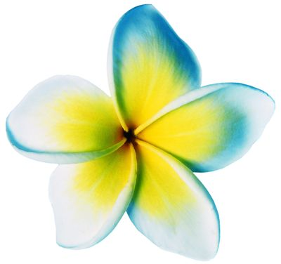 Picture Of Frangipani Flower For Perfumes