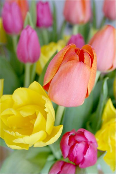 Picture Of Tulip Scents