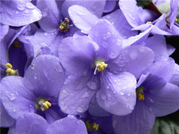 Picture Of Violet Scent For Perfume