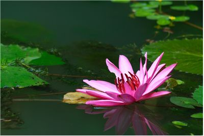 Picture Of Water Lilly For Perfumes