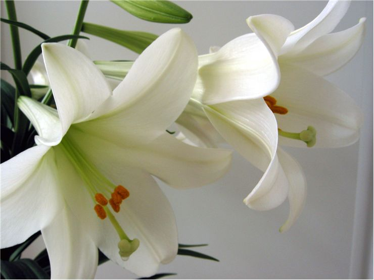 Picture Of White Lillies Scent