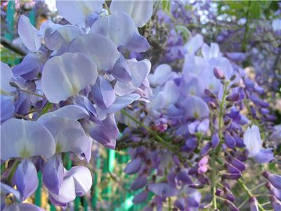 Picture Of Wisteria Scent