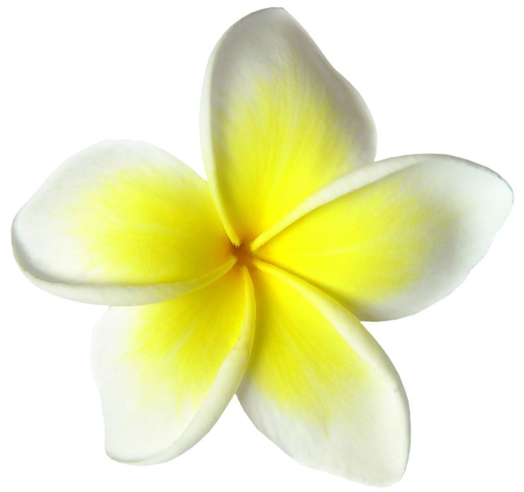 Picture Of Yellow Frangipani Flower For Perfumes