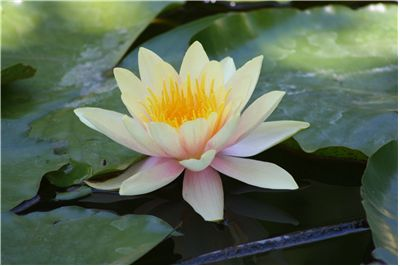 Picture Of Yellow Water Lily For Perfumes